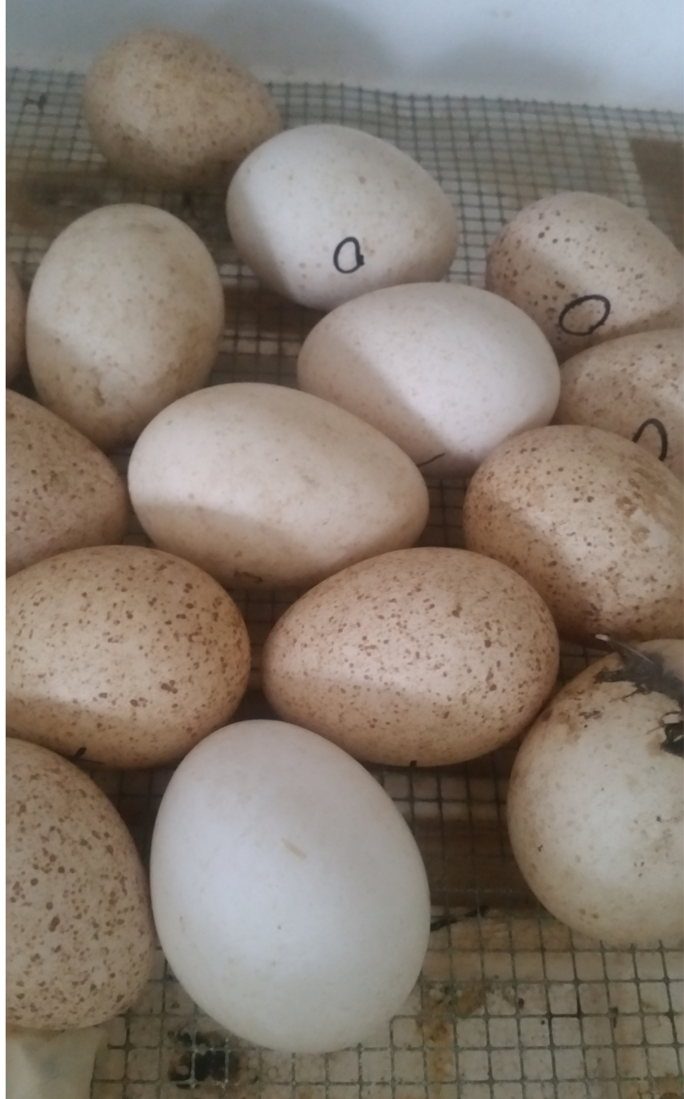 Turkey Egg Rescue