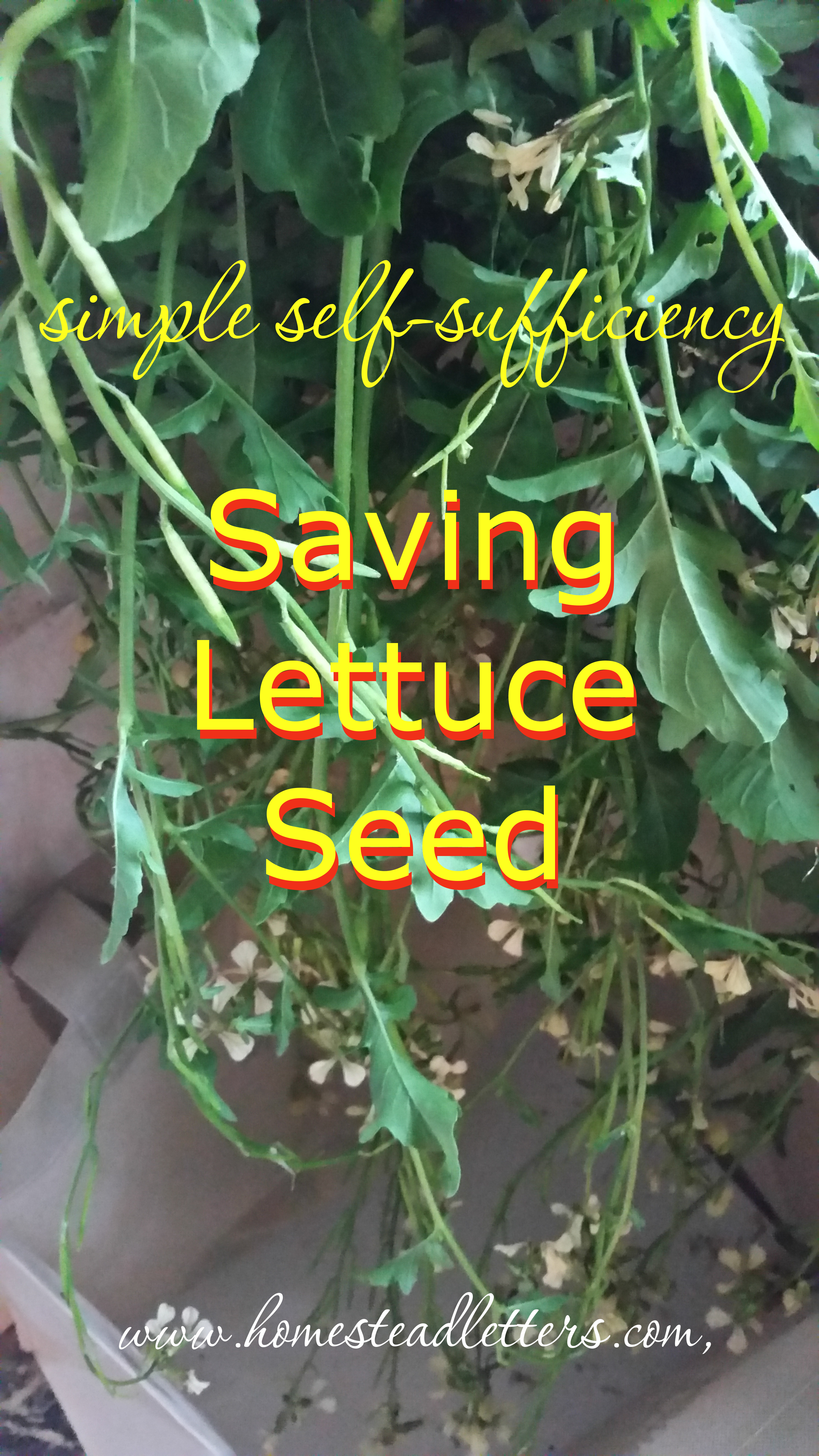 Saving Lettuce Seed